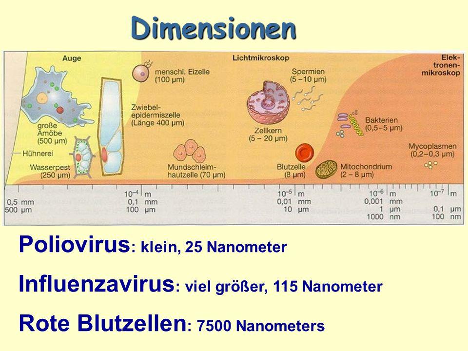 Dimensionen Poliovirus : klein, 25 Nanometer Influenzavirus : viel größer, 115 Nanometer Rote Blutzellen : 7500 Nanometers