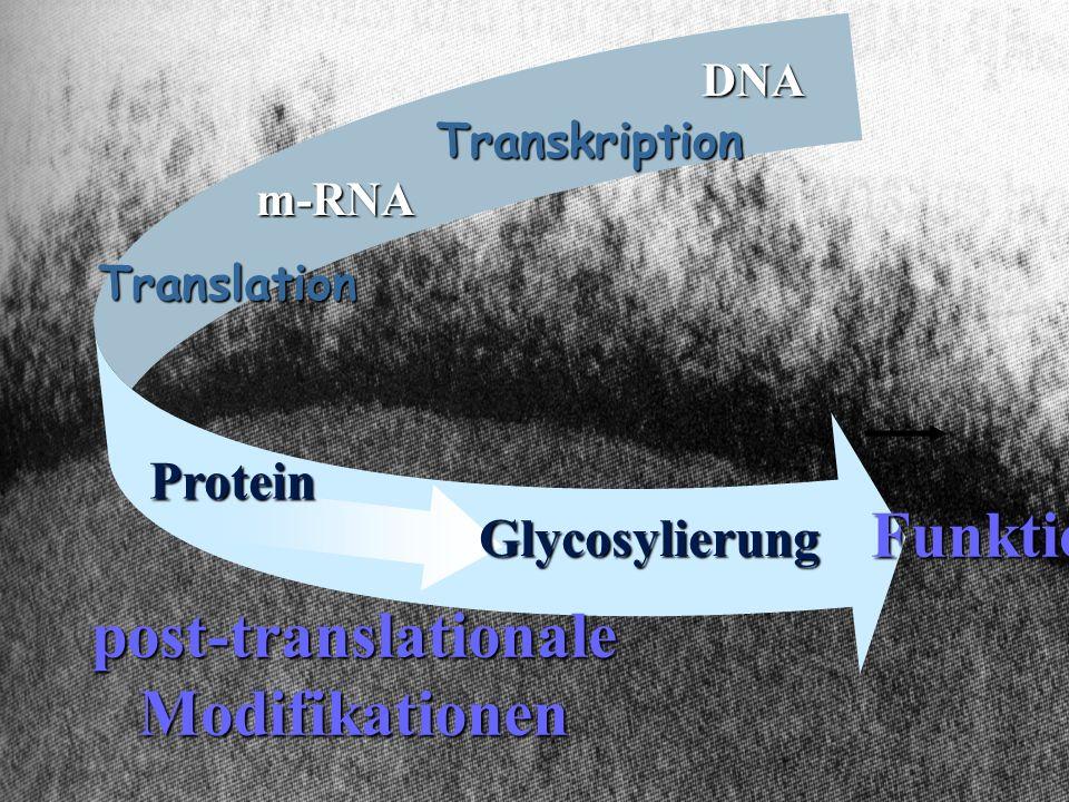Transkription Translation post-translationaleModifikationen DNA Funktion m-RNA Protein Glycosylierung