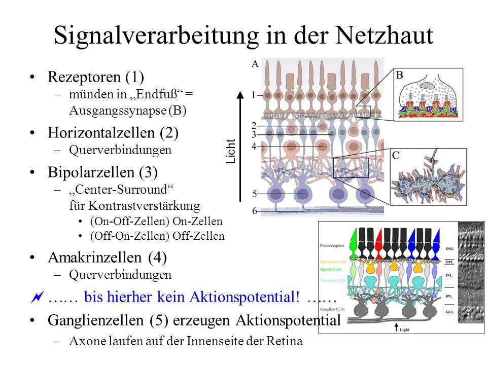 Signalverarbeitung in der Netzhaut Rezeptoren (1) –münden in Endfuß = Ausgangssynapse (B) Horizontalzellen (2) –Querverbindungen Bipolarzellen (3) –Center-Surround für Kontrastverstärkung (On-Off-Zellen) On-Zellen (Off-On-Zellen) Off-Zellen Amakrinzellen (4) –Querverbindungen bis hierher kein Aktionspotential.