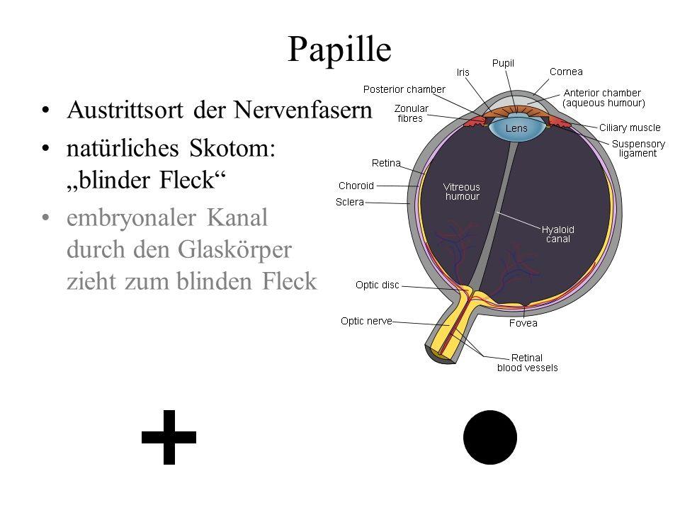 Papille Austrittsort der Nervenfasern natürliches Skotom: blinder Fleck embryonaler Kanal durch den Glaskörper zieht zum blinden Fleck