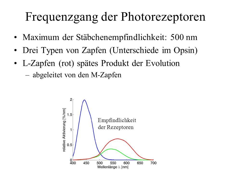 Frequenzgang der Photorezeptoren Maximum der Stäbchenempfindlichkeit: 500 nm Drei Typen von Zapfen (Unterschiede im Opsin) L-Zapfen (rot) spätes Produkt der Evolution –abgeleitet von den M-Zapfen Empfindlichkeit der Rezeptoren