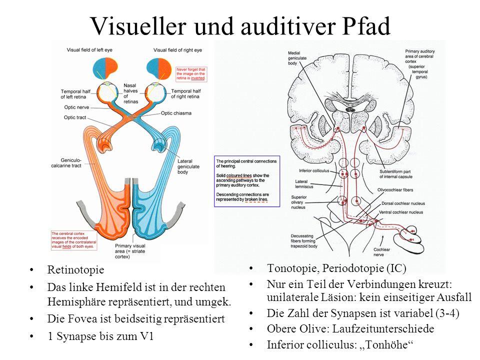 Visueller und auditiver Pfad Retinotopie Das linke Hemifeld ist in der rechten Hemisphäre repräsentiert, und umgek.