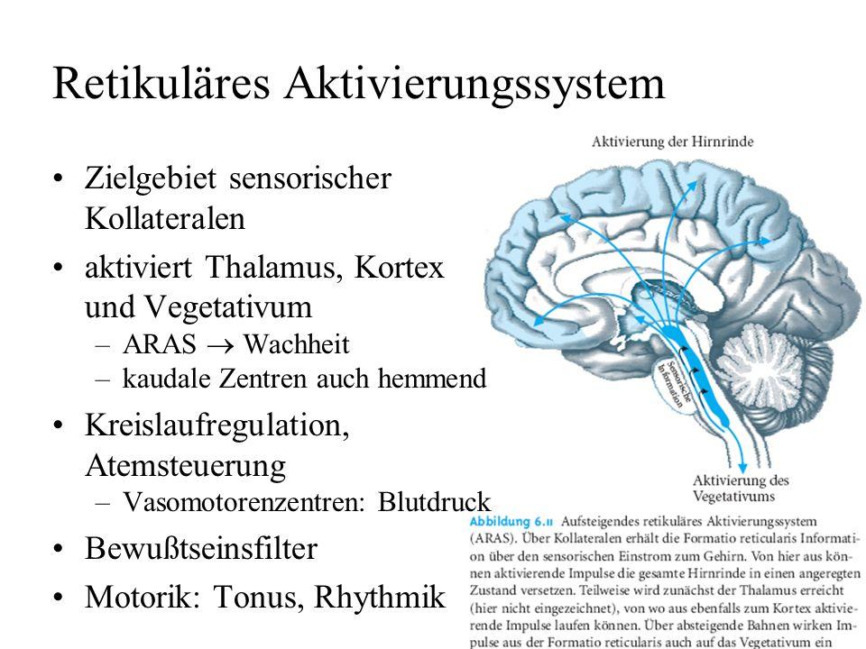 Formatio reticularis vernetztes Kerngebiet im Inneren des Hirnstamms, von Medulla über Pons bis Mittelhirn Atmen, Kreislauf, allgemeine Aktivierung me