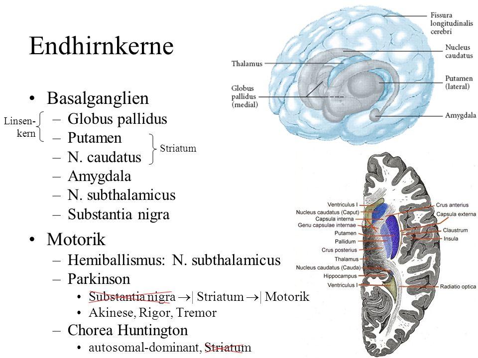 Großhirn zwei Hemisphären, vier Lappen –Balken, Corpus callosum Kortex (Rinde): grau, 2-5 mm Mark: –Fasern, Myelin (weiß) –Basalganglien (grau)