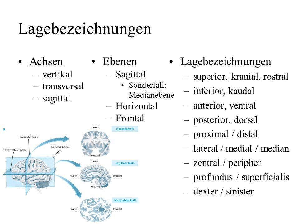 Lagebezeichnungen Achsen –vertikal –transversal –sagittal Lagebezeichnungen –superior, kranial, rostral –inferior, kaudal –anterior, ventral –posterior, dorsal –proximal / distal –lateral / medial / median –zentral / peripher –profundus / superficialis –dexter / sinister Ebenen –Sagittal Sonderfall: Medianebene –Horizontal –Frontal