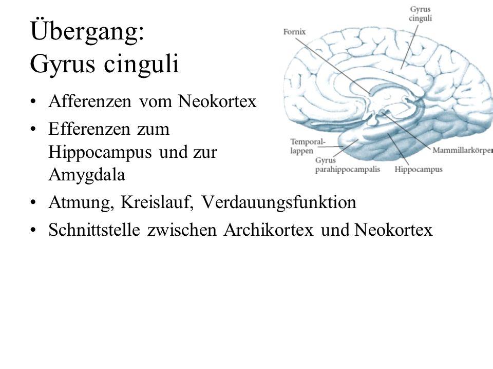 Archikortex: Hippocampus drei Kortexschichten –leicht erregbar Epilepsie –Afferenzen: Thalamus, Assoziationsfelder Amygdala Raphe-Kerne, L. coeruleus