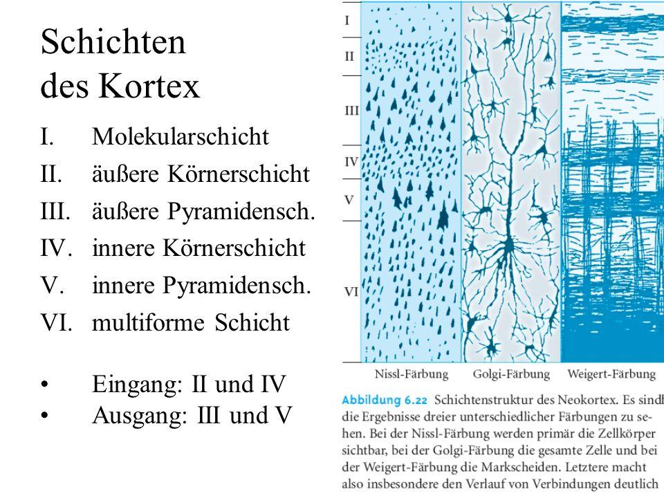 Nervenzellen des Kortex Pyramidenzellen –Apikaldendrit, zentrifugal, oft bis zu Schicht I –Basaldentriten –basales Axon, verläßt oft Neokortex –dornen