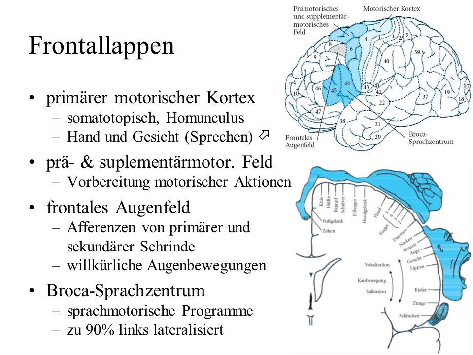 Brodmann-Areale Korbinian Brodmann, 1909 Einteilung in 47 Areale auf Grund der Zytoarchitektur erfaßt nicht die Kortex-Oberfläche in den Sulci (>50%)