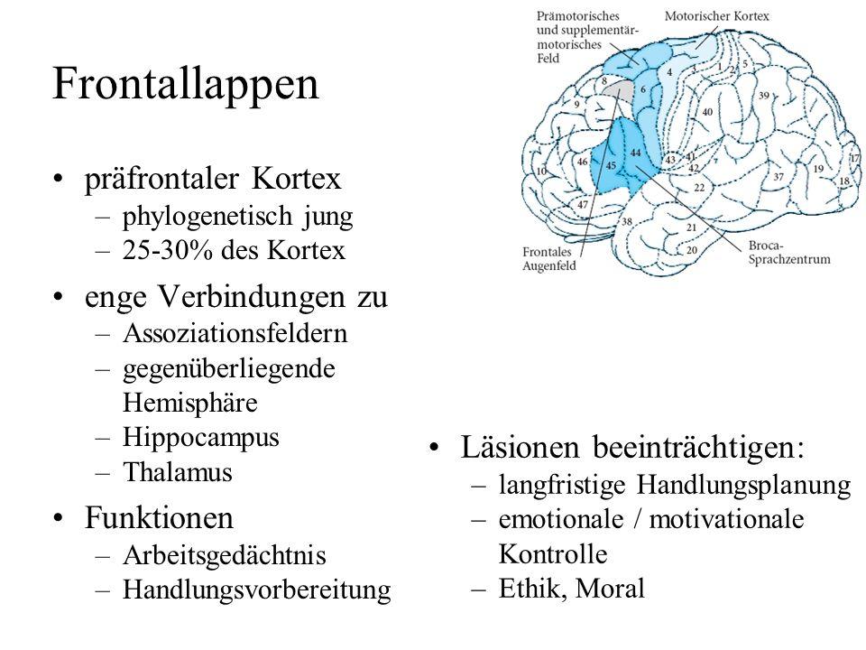 Frontallappen primärer motorischer Kortex –somatotopisch, Homunculus –Hand und Gesicht (Sprechen) prä- & suplementärmotor. Feld –Vorbereitung motorisc