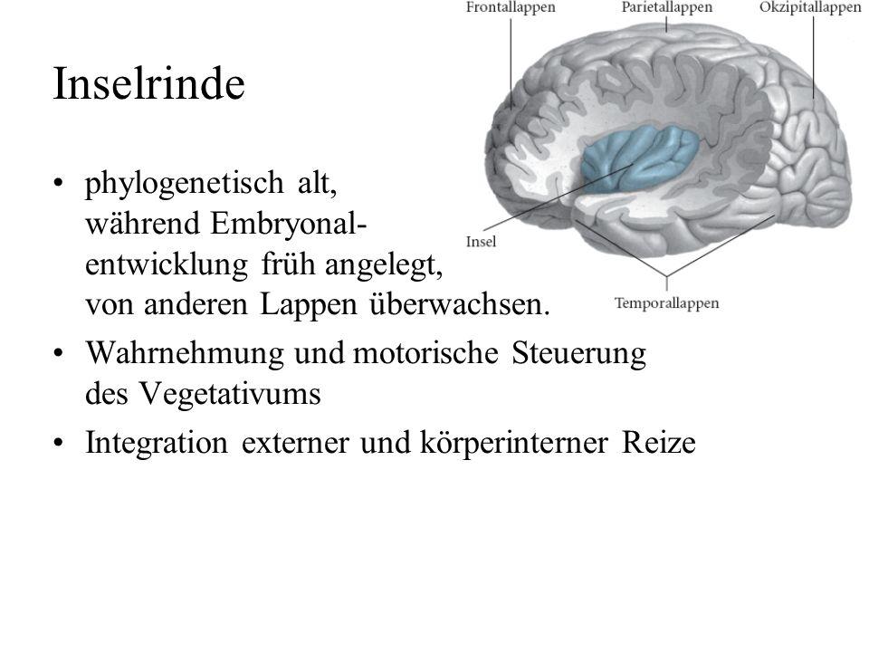 Temporallappen primäre Hörrinde (BA 41) –Tonotopie –Periodotopie –Afferenzen vom Corpus geniculatum mediale (Hörstrahlung) sekundäre Hörrinde (BA 42,