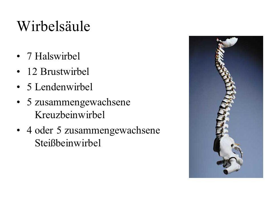 Wirbelsäule 7 Halswirbel 12 Brustwirbel 5 Lendenwirbel 5 zusammengewachsene Kreuzbeinwirbel 4 oder 5 zusammengewachsene Steißbeinwirbel
