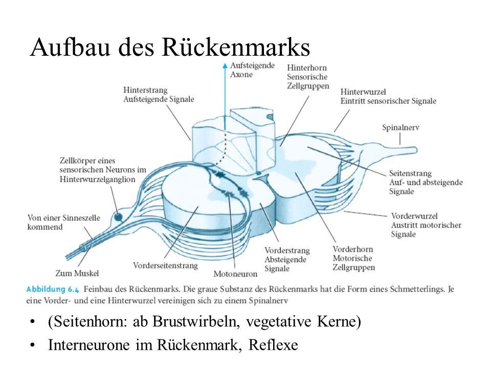 Aufbau des Rückenmarks (Seitenhorn: ab Brustwirbeln, vegetative Kerne) Interneurone im Rückenmark, Reflexe