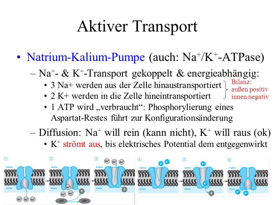 Aktiver Transport Natrium-Kalium-Pumpe (auch: Na + /K + -ATPase) –Na + - & K + -Transport gekoppelt & energieabhängig: 3 Na+ werden aus der Zelle hina