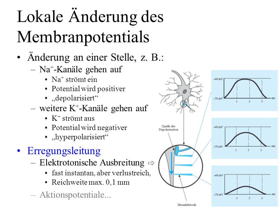 Lokale Änderung des Membranpotentials Änderung an einer Stelle, z. B.: –Na + -Kanäle gehen auf Na + strömt ein Potential wird positiver depolarisiert