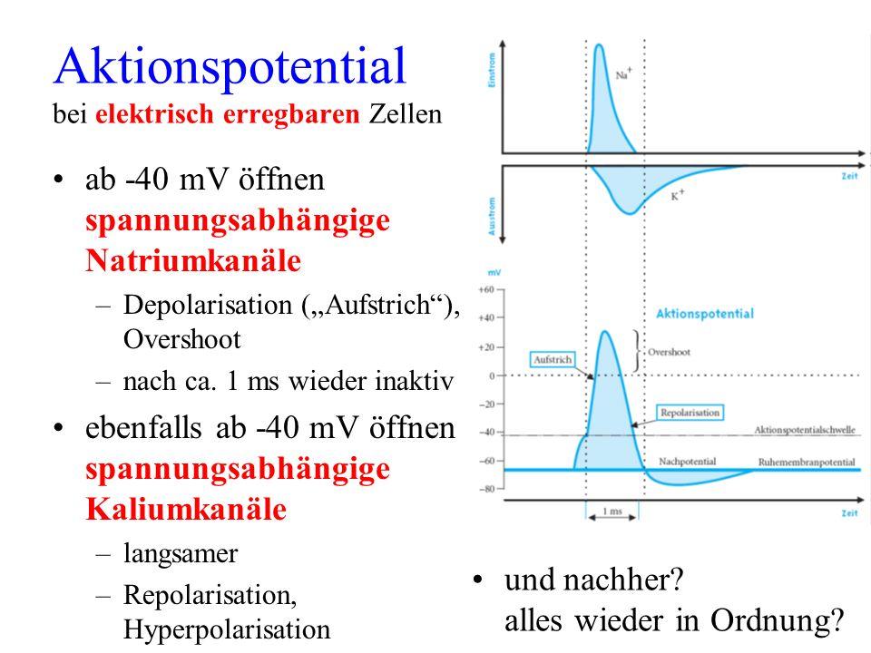 Aktionspotential bei elektrisch erregbaren Zellen ab -40 mV öffnen spannungsabhängige Natriumkanäle –Depolarisation (Aufstrich), Overshoot –nach ca. 1
