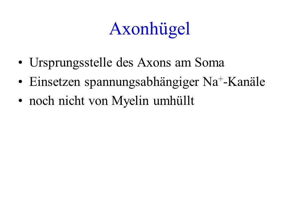 Axonhügel Ursprungsstelle des Axons am Soma Einsetzen spannungsabhängiger Na + -Kanäle noch nicht von Myelin umhüllt