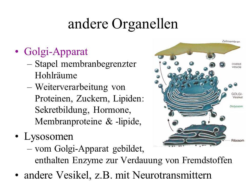 Membranpotential existiert in allen Zellen (Steuerung von Ionenströmen) –für elektrisch erregbare Zellen: Ruhemembranpotential –Natrium-Kalium-Pumpe 3 Na + aus der Zelle, 2 K + in die Zelle, K + -Ionen diffundieren teilweise wieder raus negatives Potential Nernst-Gleichung für Ionen E = (RT/zF) ln(c 1 /c 2 ) 60 mV/z log 10 (c 1 /c 2 ) T: Temperatur, R: Gaskonstante, F: Faradaykonstante z: Wertigkeit des Ions, c 1, c 2 : Konzentrationen ergibt Potentialdifferenz pro Ionenart: diejenige Spannung, bei der keine Ionenwanderung stattfände Membranpotential dominiert von K + -Ionen