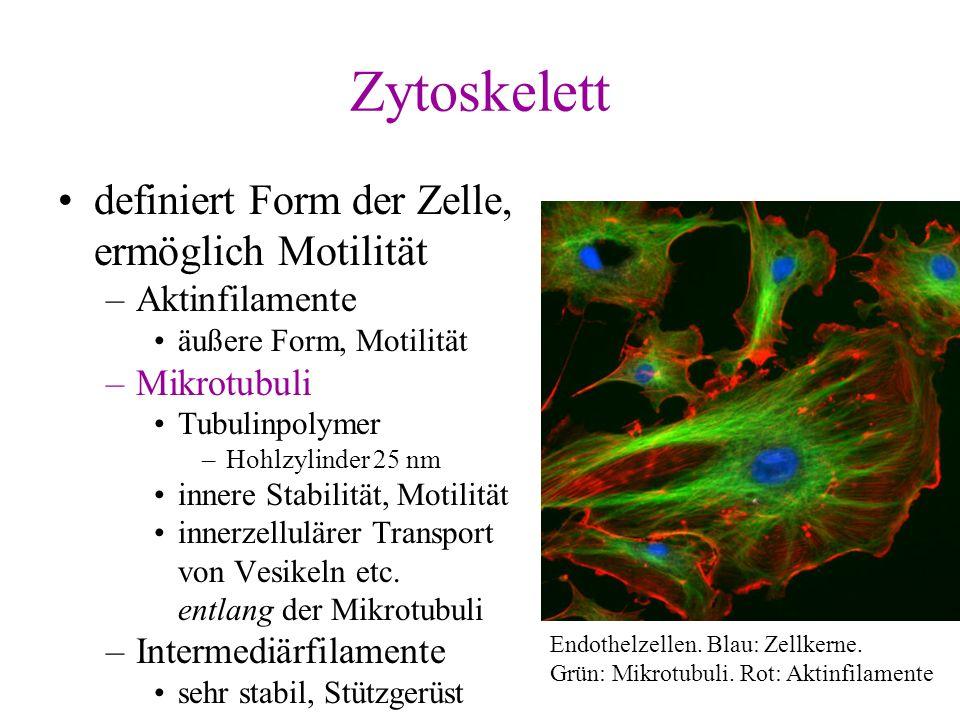 Zytoskelett definiert Form der Zelle, ermöglich Motilität –Aktinfilamente äußere Form, Motilität –Mikrotubuli Tubulinpolymer –Hohlzylinder 25 nm inner