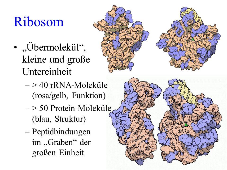 Ribosom Übermolekül, kleine und große Untereinheit –> 40 rRNA-Moleküle (rosa/gelb, Funktion) –> 50 Protein-Moleküle (blau, Struktur) –Peptidbindungen