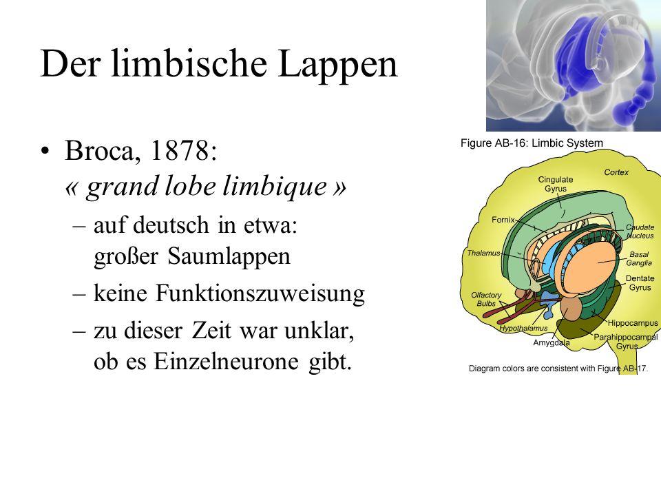 Der limbische Lappen Broca, 1878: « grand lobe limbique » –auf deutsch in etwa: großer Saumlappen –keine Funktionszuweisung –zu dieser Zeit war unklar, ob es Einzelneurone gibt.
