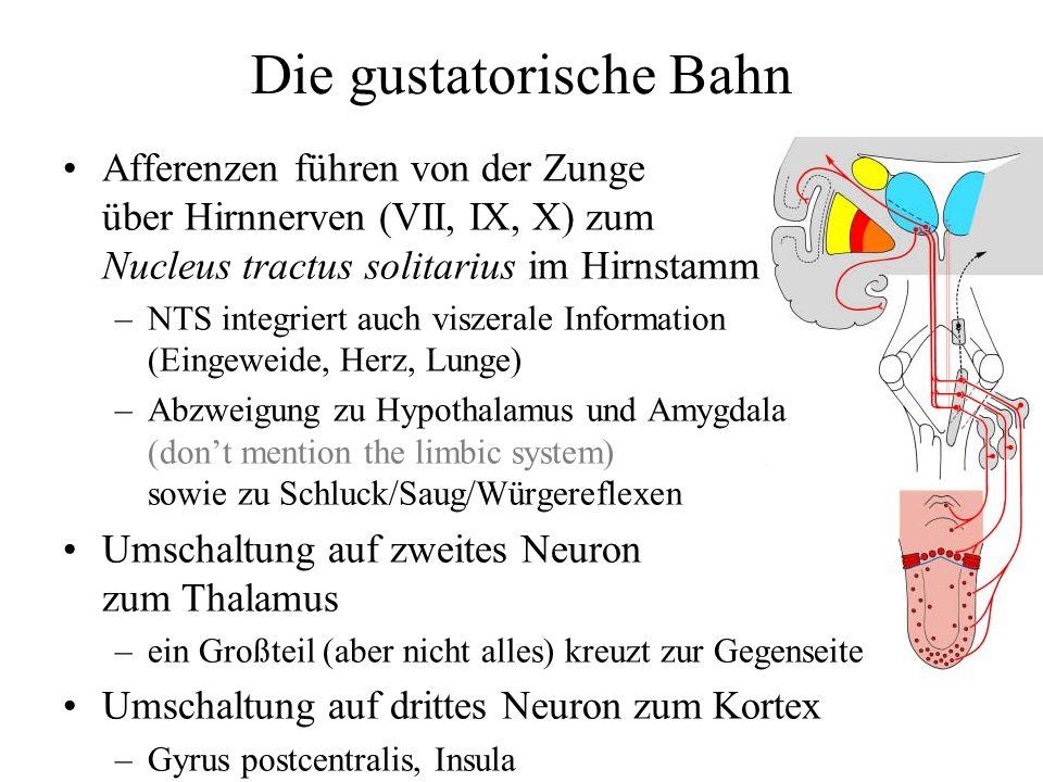 Die gustatorische Bahn Afferenzen führen von der Zunge über Hirnnerven (VII, IX, X) zum Nucleus tractus solitarius im Hirnstamm –NTS integriert auch v