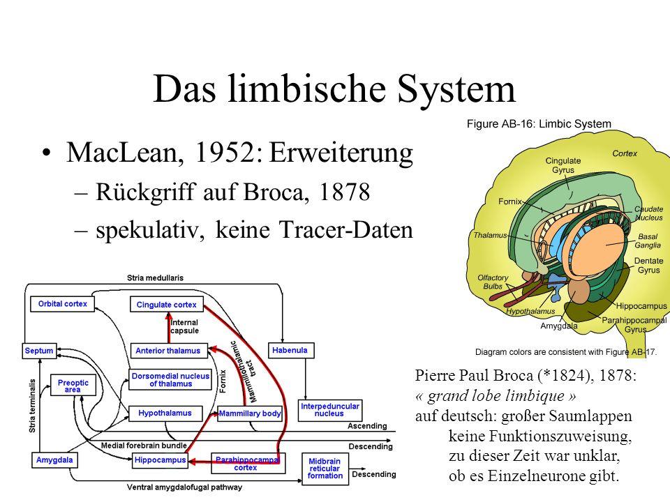 Erste Theorie Papez, 1937: Papez-Kreis Hippocampus via Fornix Mammilarkörper (Hypothalamus) Thalamus Gyrus cinguli Hippocampus Spekulation damals waren Verbindungen nicht zu erheben LeDoux: Papez handelte aus Patriotismus