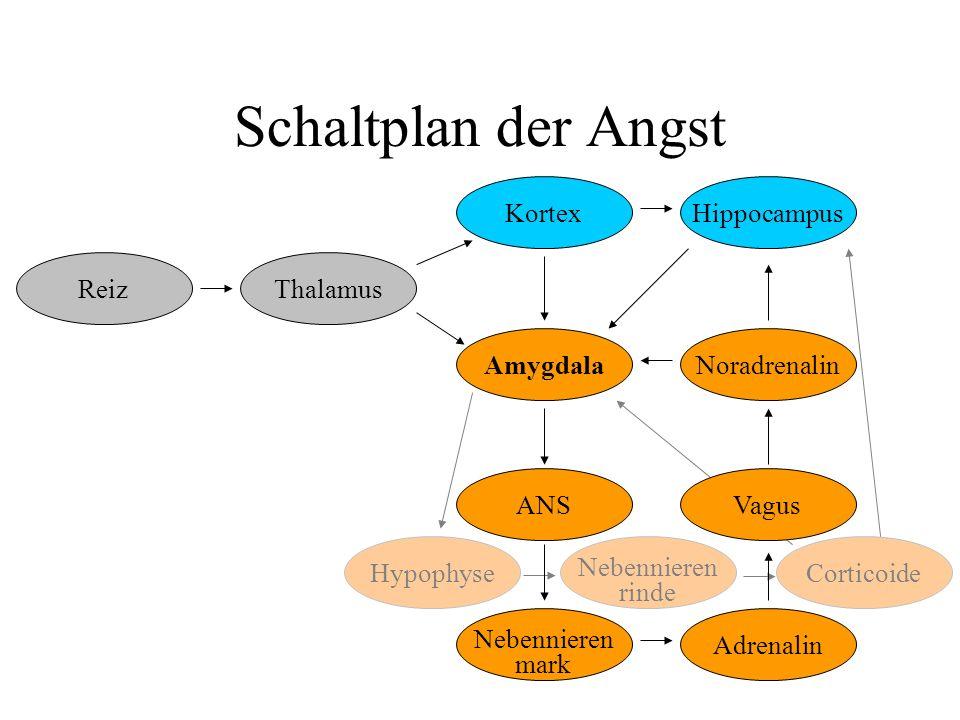 Hypophyse Nebennieren rinde Corticoide Schaltplan der Angst Amygdala ReizThalamus ANS Nebennieren mark Adrenalin Vagus NoradrenalinHippocampusKortex