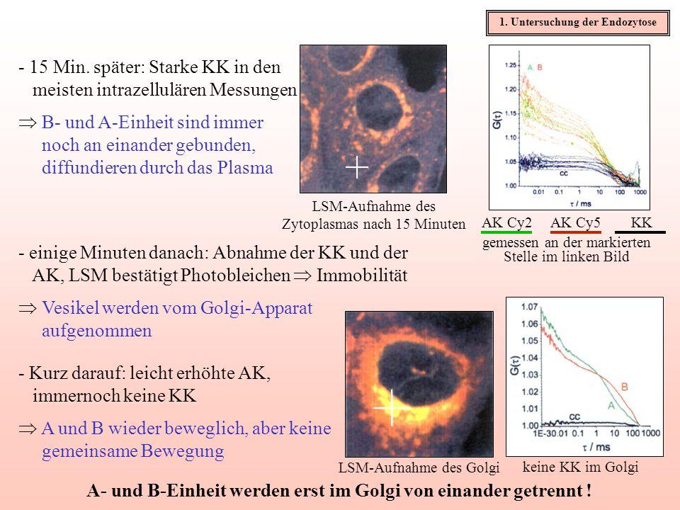 - 15 Min. später: Starke KK in den meisten intrazellulären Messungen B- und A-Einheit sind immer noch an einander gebunden, diffundieren durch das Pla