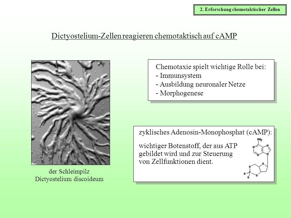 Dictyostelium-Zellen reagieren chemotaktisch auf cAMP Chemotaxie spielt wichtige Rolle bei: - Immunsystem - Ausbildung neuronaler Netze - Morphogenese