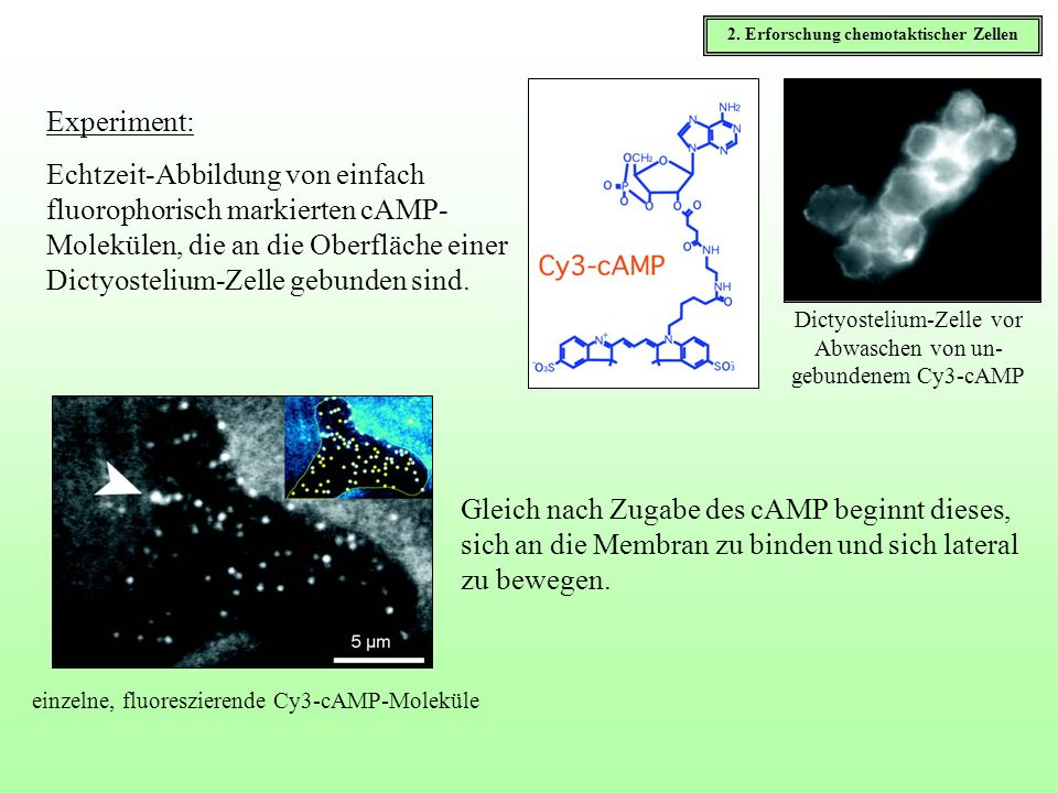 Experiment: Echtzeit-Abbildung von einfach fluorophorisch markierten cAMP- Molekülen, die an die Oberfläche einer Dictyostelium-Zelle gebunden sind. T
