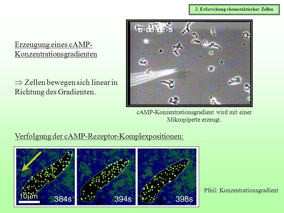 Zellen bewegen sich linear in Richtung des Gradienten. Erzeugung eines cAMP- Konzentrationsgradienten cAMP-Konzentrationsgradient wird mit einer Mikro