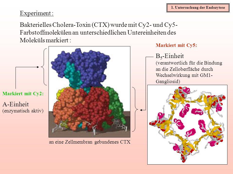 Experiment : Bakterielles Cholera-Toxin (CTX) wurde mit Cy2- und Cy5- Farbstoffmolekülen an unterschiedlichen Untereinheiten des Moleküls markiert : M