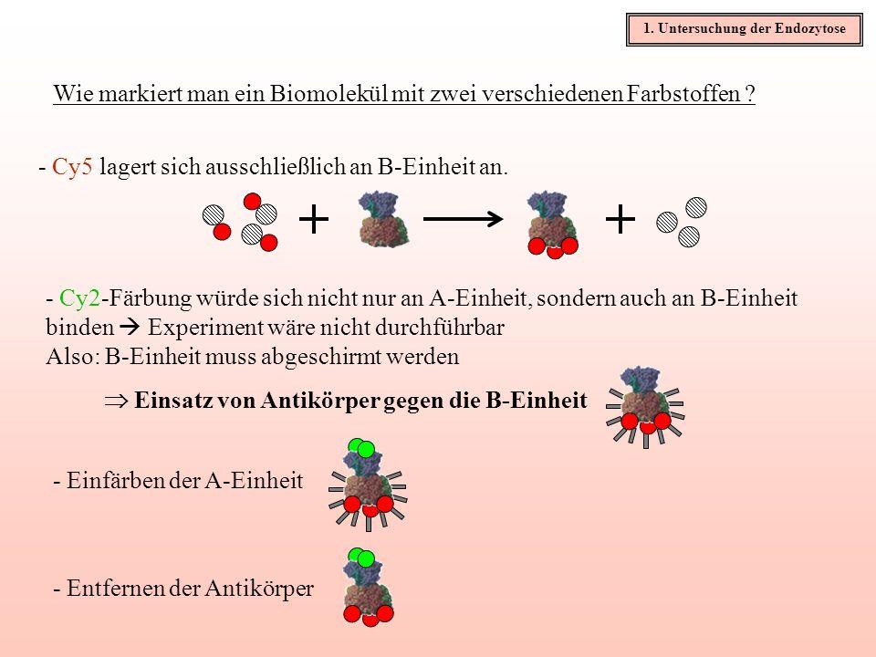 Wie markiert man ein Biomolekül mit zwei verschiedenen Farbstoffen ? - Cy2-Färbung würde sich nicht nur an A-Einheit, sondern auch an B-Einheit binden
