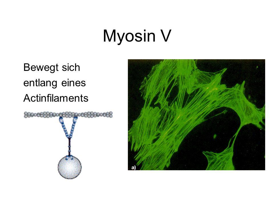 Myosin V Bewegt sich entlang eines Actinfilaments