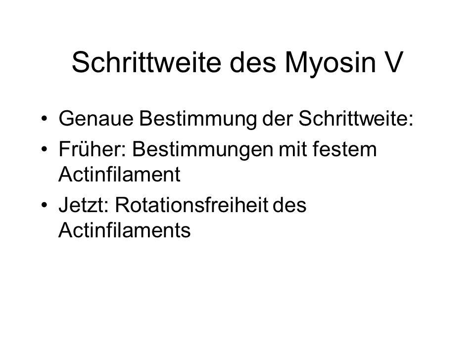 Schrittweite des Myosin V Genaue Bestimmung der Schrittweite: Früher: Bestimmungen mit festem Actinfilament Jetzt: Rotationsfreiheit des Actinfilament