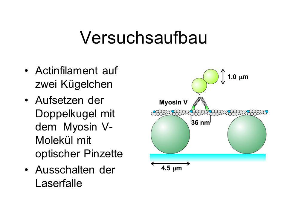 Versuchsaufbau Actinfilament auf zwei Kügelchen Aufsetzen der Doppelkugel mit dem Myosin V- Molekül mit optischer Pinzette Ausschalten der Laserfalle