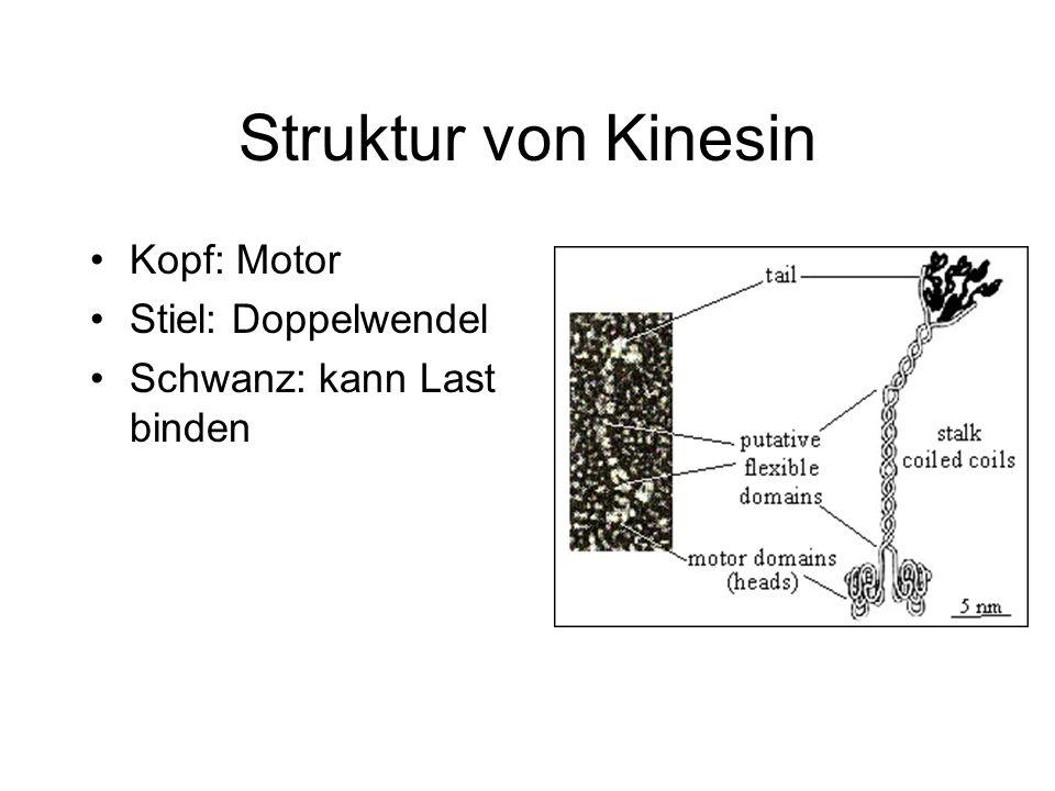 Kinesin Bewegt sich entlang einer Mikrotubuli