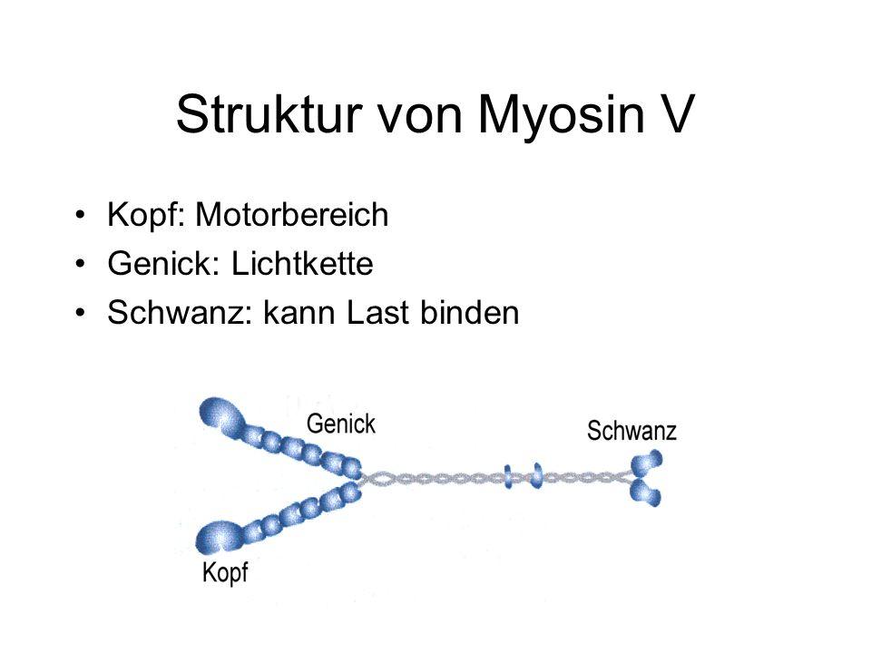 Struktur von Myosin V Kopf: Motorbereich Genick: Lichtkette Schwanz: kann Last binden