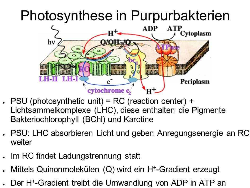 PSU (photosynthetic unit) = RC (reaction center) + Lichtsammelkomplexe (LHC), diese enthalten die Pigmente Bakteriochlorophyll (BChl) und Karotine PSU