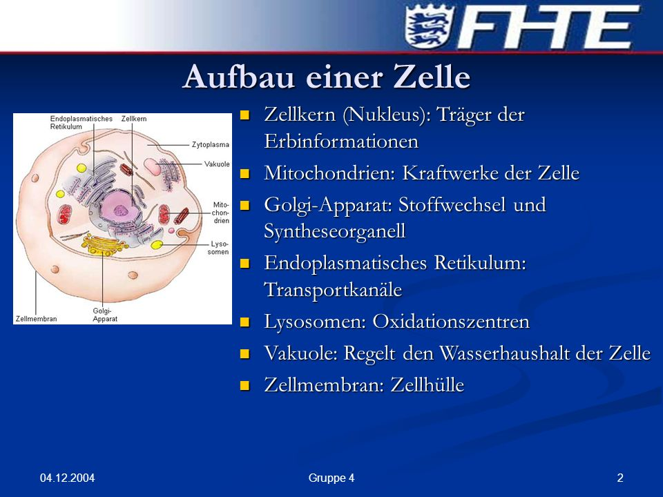04.12.2004 2Gruppe 4 Aufbau einer Zelle Zellkern (Nukleus): Träger der Erbinformationen Zellkern (Nukleus): Träger der Erbinformationen Mitochondrien: