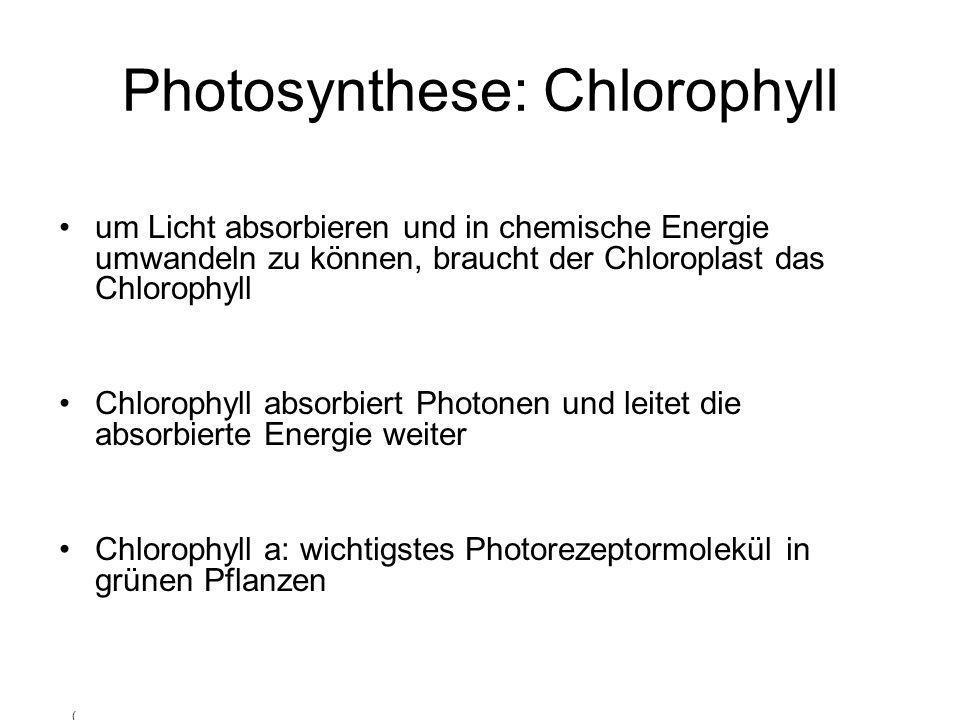 Photosynthese: Chlorophyll um Licht absorbieren und in chemische Energie umwandeln zu können, braucht der Chloroplast das Chlorophyll Chlorophyll abso