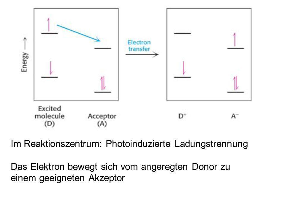 Im Reaktionszentrum: Photoinduzierte Ladungstrennung Das Elektron bewegt sich vom angeregten Donor zu einem geeigneten Akzeptor