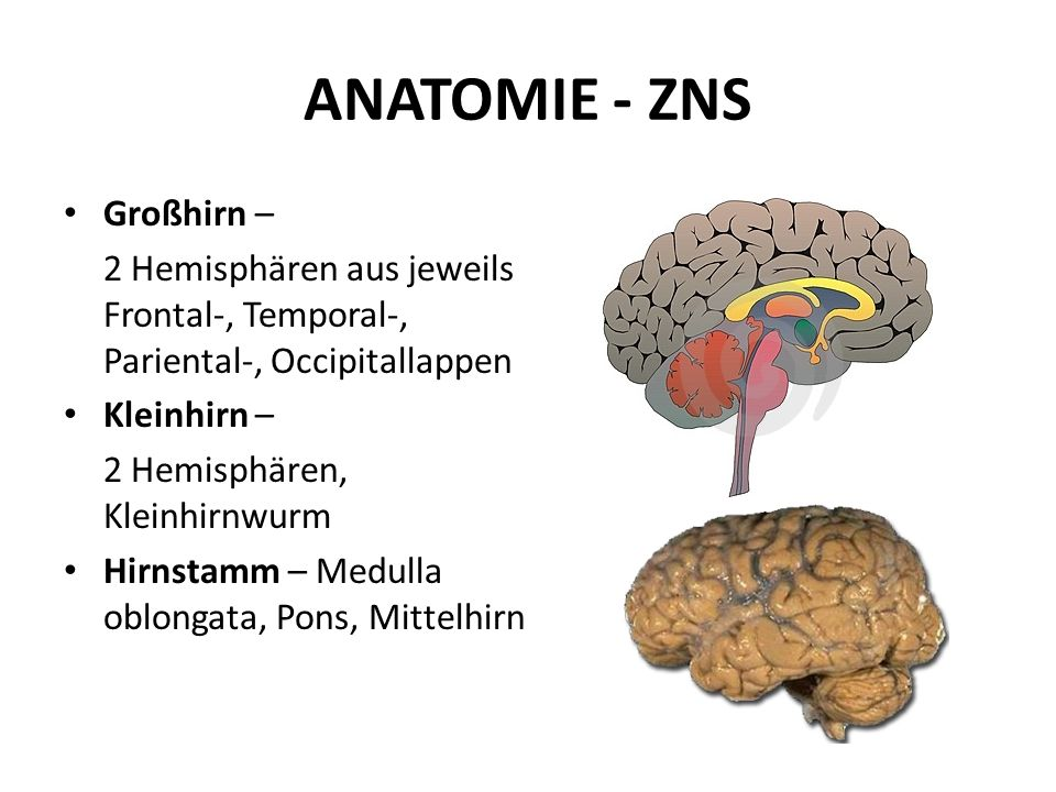 ANATOMIE - ZNS Hirnstamm
