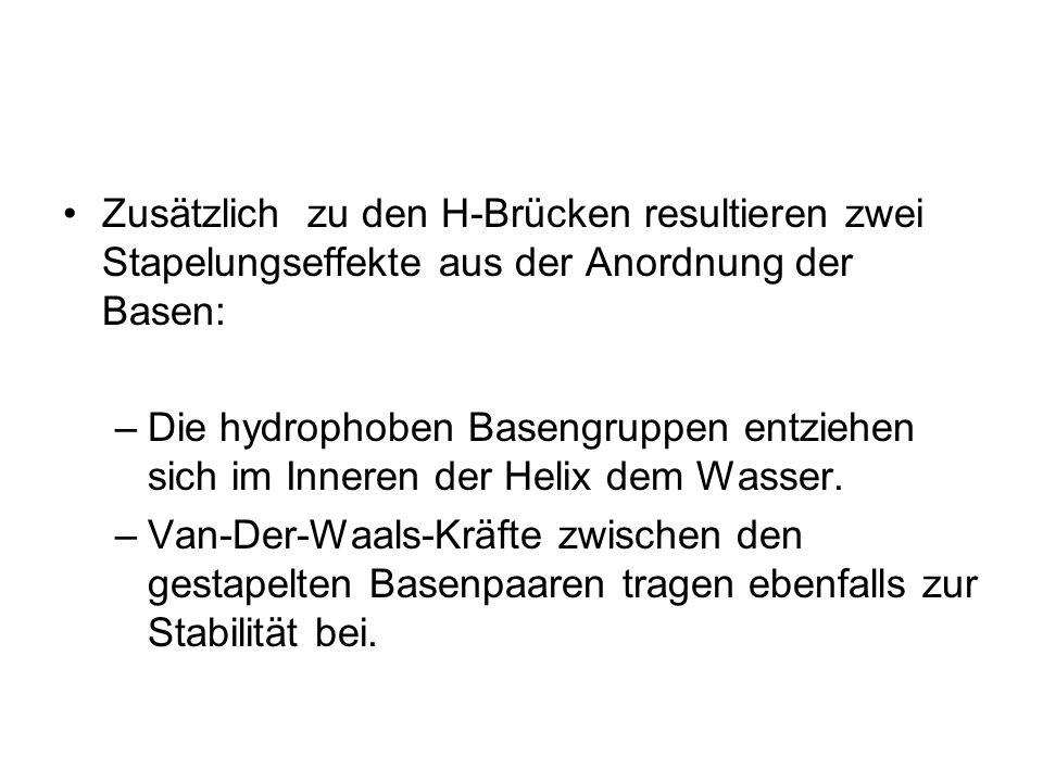Zusätzlich zu den H-Brücken resultieren zwei Stapelungseffekte aus der Anordnung der Basen: –Die hydrophoben Basengruppen entziehen sich im Inneren de
