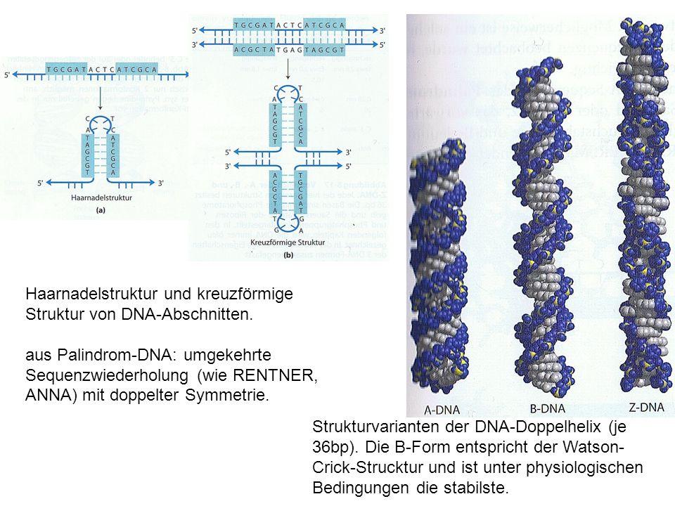 Haarnadelstruktur und kreuzförmige Struktur von DNA-Abschnitten. aus Palindrom-DNA: umgekehrte Sequenzwiederholung (wie RENTNER, ANNA) mit doppelter S