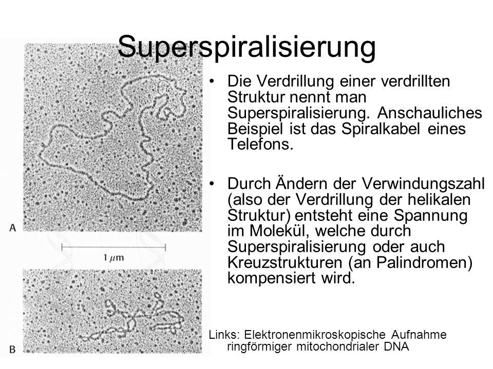 Superspiralisierung Die Verdrillung einer verdrillten Struktur nennt man Superspiralisierung. Anschauliches Beispiel ist das Spiralkabel eines Telefon