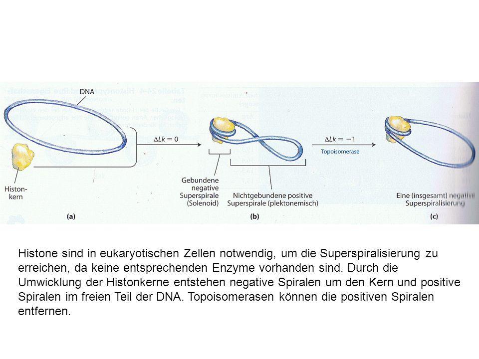 Histone sind in eukaryotischen Zellen notwendig, um die Superspiralisierung zu erreichen, da keine entsprechenden Enzyme vorhanden sind. Durch die Umw
