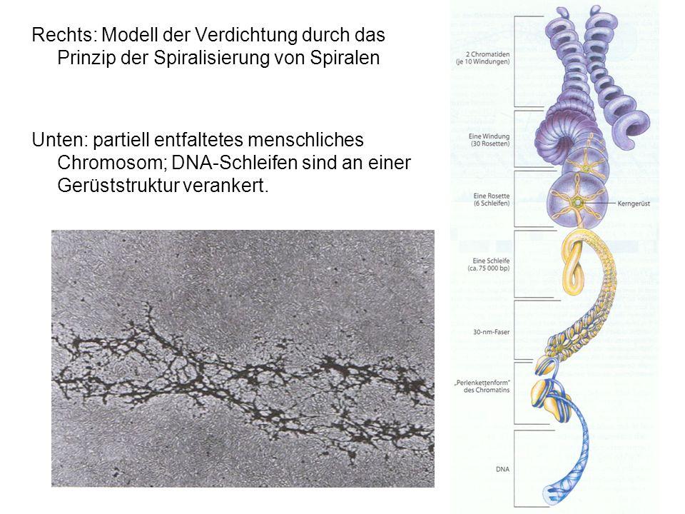 Rechts: Modell der Verdichtung durch das Prinzip der Spiralisierung von Spiralen Unten: partiell entfaltetes menschliches Chromosom; DNA-Schleifen sin