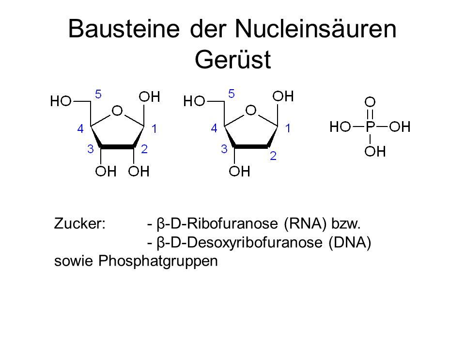 Bausteine der Nucleinsäuren Gerüst Zucker: - β-D-Ribofuranose (RNA) bzw. - β-D-Desoxyribofuranose (DNA) sowie Phosphatgruppen