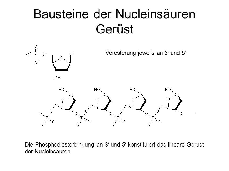 Bausteine der Nucleinsäuren Gerüst Veresterung jeweils an 3 und 5 Die Phosphodiesterbindung an 3 und 5 konstituiert das lineare Gerüst der Nucleinsäur